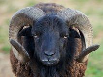 czarna owca Zdjęcia Royalty Free