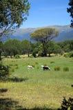 czarna owca Fotografia Stock