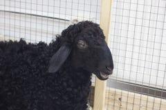 czarna owca Obrazy Royalty Free
