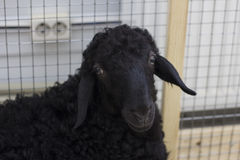 czarna owca Obrazy Stock