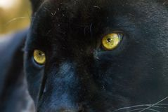 Czarna pantera obrazy royalty free