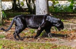 czarna pantera Zdjęcia Stock