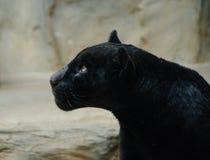czarna pantera Fotografia Royalty Free