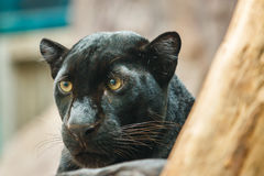 Czarna pantera, Czarna pantera zoo Tajlandia , zwierzę, przyroda Fotografia Stock