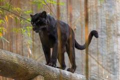 Czarna pantera jest melanistic koloru wariantem duży kot Obrazy Stock
