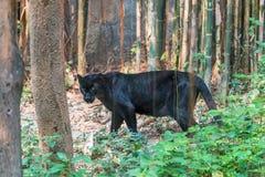 Czarna pantera jest melanistic koloru wariantem jakaś duży kot s Zdjęcia Royalty Free