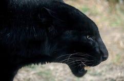 Czarna pantera na Morelia, Michoacan zoo Obrazy Royalty Free