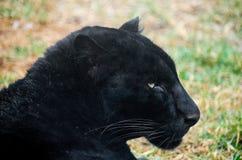 Czarna pantera na Morelia, Michoacan zoo Zdjęcie Stock