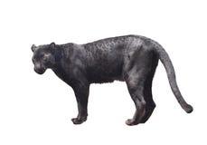 Czarna pantera odizolowywająca Zdjęcie Stock