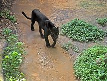 Czarna pantera Przygotowywająca Atakować na natury tle Zdjęcia Royalty Free