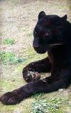 Czarna pantera, wariant lampart Obraz Royalty Free