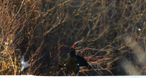 Czarna pardwa w śniegu Obraz Stock