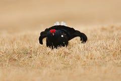 Czarna pardwa w mgły łące Zimna wiosna w naturze Przyrody scena od północnego Europa Czarny ptak z czerwonym grzebieniem, biały o Fotografia Stock