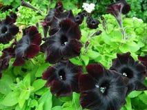 Czarna petunia Obraz Royalty Free