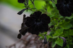 Czarna petunia Obrazy Stock