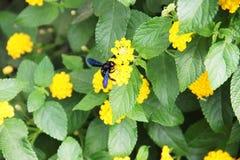 Czarna pszczoła i Sorrento wybrzeże fotografia stock