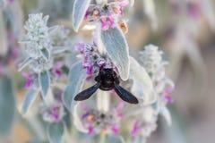 Czarna pszczoła Zdjęcie Stock