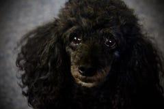 Czarna pudel twarz obraz royalty free