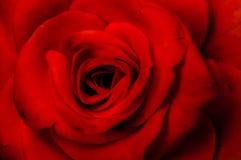 czarna róża czerwone tło Zdjęcia Stock