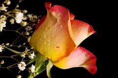 czarna róża tła zdjęcia royalty free
