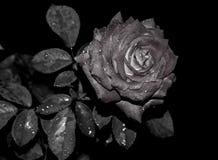 czarna róża Obrazy Royalty Free