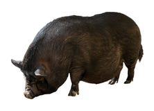 Czarna rolna świnia nad białym tłem Obraz Royalty Free