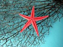 Czarna rozgwiazda i koral Obrazy Royalty Free