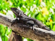 Czarna spiny ogoniasta iguana odpoczywa w Belize centrali America Zdjęcie Stock