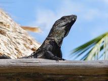 Czarna spiny ogoniasta iguana odpoczywa w Belize centrali America Fotografia Royalty Free