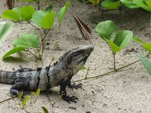 Czarna spiny ogoniasta iguana odpoczywa w piaska Belize centrali ame Obrazy Stock