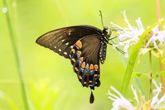 Czarna Swallowtail motyla kobieta fotografia royalty free