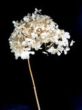 czarna tła suszony kwiat Obrazy Stock