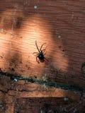 Czarna wdowa i drugi pająk na drewnianym leje się świetle z sieciami Fotografia Stock