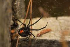 czarna wdowa pająk zdjęcie stock