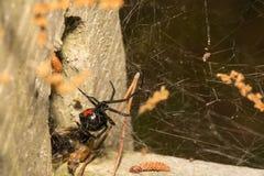 czarna wdowa pająk zdjęcia royalty free