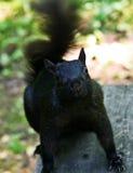 Czarna wiewiórka Zdjęcia Royalty Free