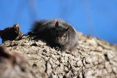 czarna wiewiórka Obraz Royalty Free