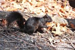czarna wiewiórka fotografia royalty free