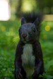 czarna wiewiórka zdjęcia stock