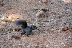 czarna wiewiórka Zdjęcie Royalty Free