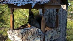 Czarna wiewiórka z puszystym ogonem i białym trójbokiem na jego klatce piersiowej w jawnym parku jest wspinająca się i skacząca zbiory wideo