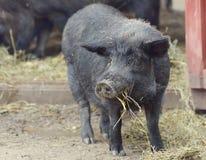czarna świnio Obraz Stock