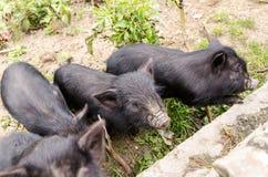 czarna świnio Obrazy Royalty Free