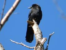 czarna wrona zdjęcie stock