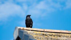 czarna wrona obrazy stock