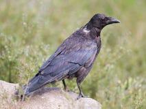 czarna wrona Obraz Royalty Free