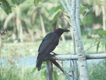 czarna wrona Fotografia Royalty Free