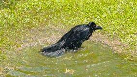 Czarna wrona cieszy się wodnego kąpanie zbiory