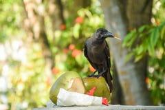 Czarna wrona ma ucztę koks Zdjęcie Stock