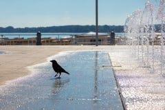 Czarna wrona quenches swój pragnienie przy fontanną zdjęcie stock
